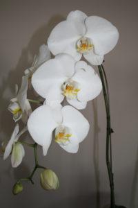 Orchids Figure 01